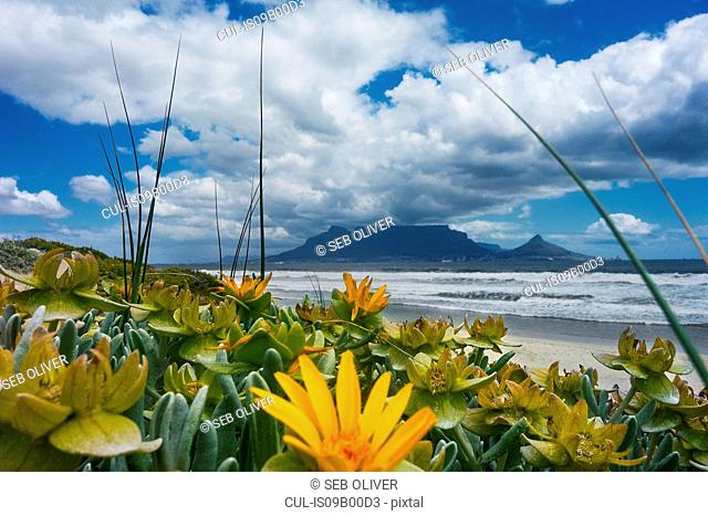 Yellow flowers by ocean, Table Mountain from  Bloubergstrand beach, Cape Town, South Africa
