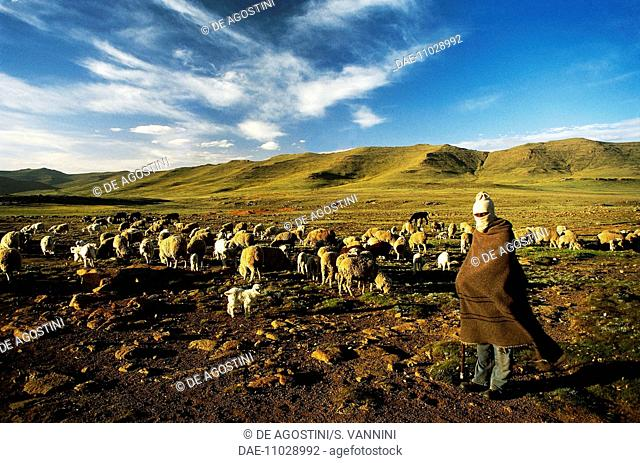 Shepherd with sheep grazing on the slopes of the Sani Pass, Mokhotlong district, Lesotho