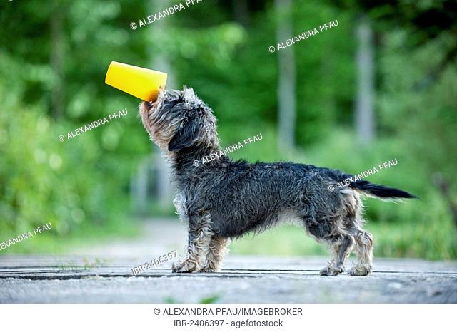 Wire-haired Dachshund drinking from a cup, trick dog