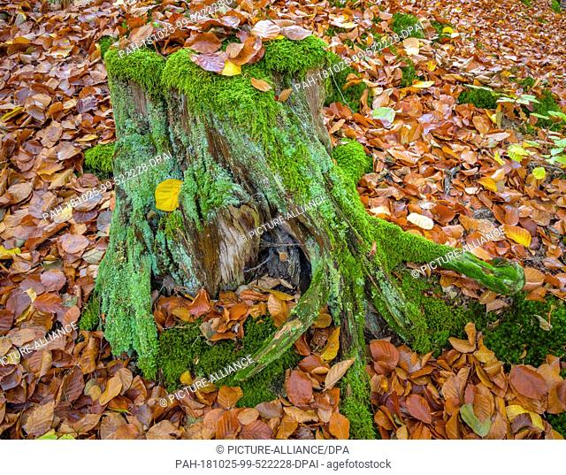 24 October 2018, Brandenburg, Siedichum: A tree stump overgrown with moss and covered with beech leaves in the autumnal Schlaubetal Nature Park near Lake Grosse...