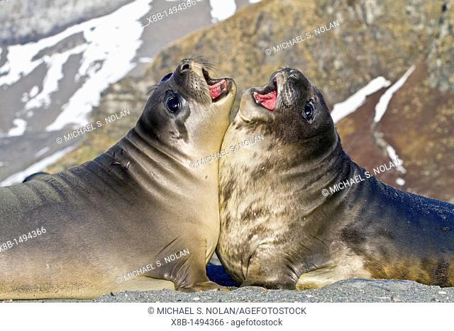 Male southern elephant seal Mirounga leonina pups mock fighting on South Georgia Island in the Southern Ocean  MORE INFO The southern elephant seal is not only...