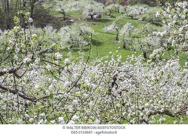 USA, New England, Massachusetts, Bolton, apple trees in bloom, springtime