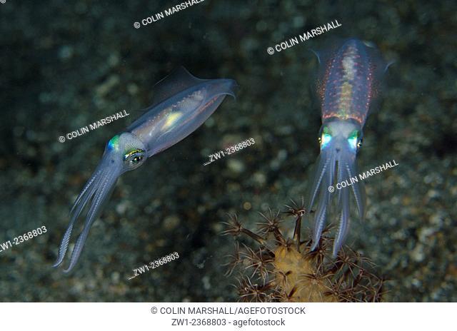 Pair of Bigfin Reef Squid (Sepioteuthis lessoniana), Night dive, Pantai Parigi dive site, Lembeh Straits, Sulawesi, Indonesia