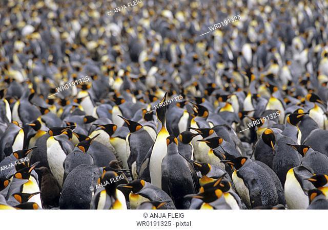Large colony of King Penguins Aptenodytes Patagonicus Sandy Bay, Macquarie Island, Subantarctic Australia