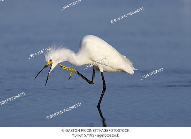 White heron (Ardea alba), Siesta Key, Sarasota, Florida, USA
