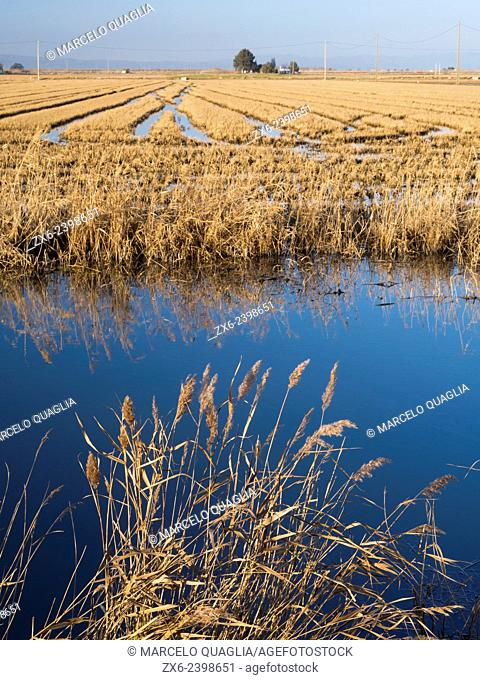Common reeds (Phragmites australis) and harvested rice fields. Autumn at Ebro River Delta Natural Park. Tarragona province, Catalonia, Spain