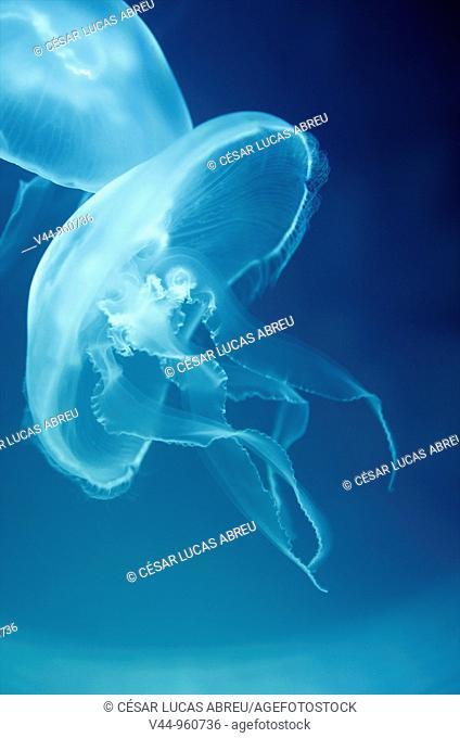 Medusa comun, Aurelia Aurita  Espan~a