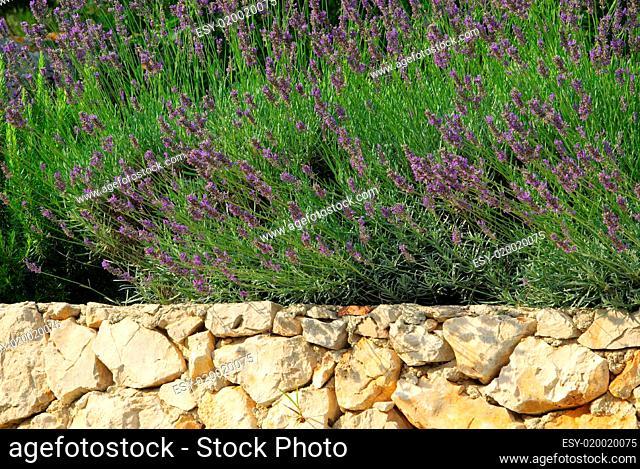 Lavendel auf Mauer - lavender on wall 03