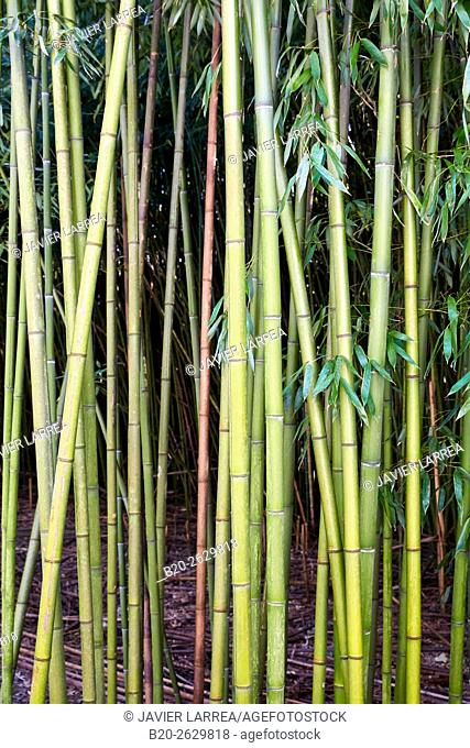 Bamboo, reeds, Martutene, Donostia or San Sebastian, Gipuzkoa province, Basque Country, Spain