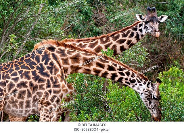 Masai Giraffe (Giraffa camelopardalis), Masai Mara, Kenya