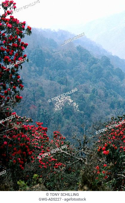 MAGNOLIA CAMPBELLII VIEW ON HIMALAYAN HILLSIDE