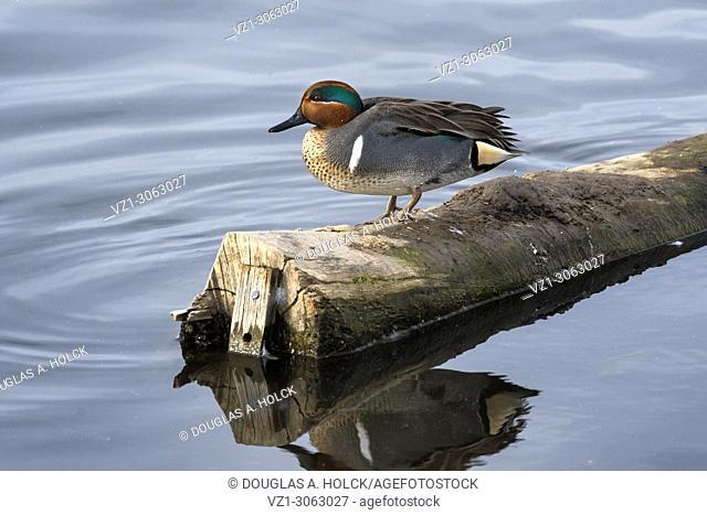 Greenwing Teal Drake on log, Colusa National Wildlife Refuge, USA