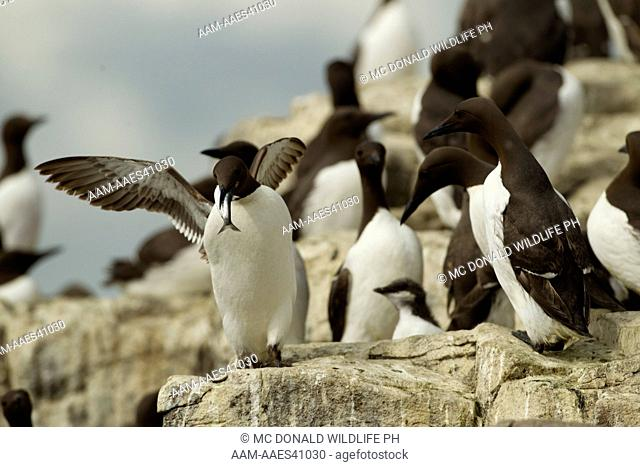 Common Murre, or Common Guillemot, Uria aalge, aka Thin-billed Murre, colony on rock cliff, Farne Islands, Great Britain
