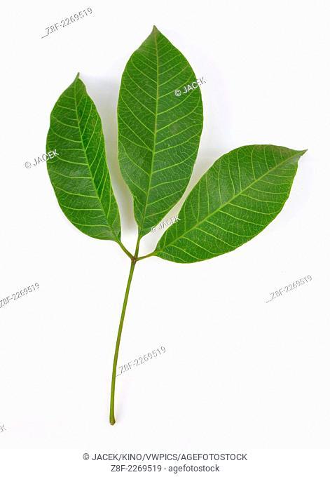 Rubber leaves (Hevea spp.)