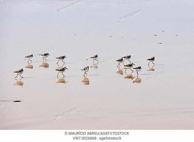 Sanderlings in Bordeira beach. Carrapateira, Algarve. Portugal