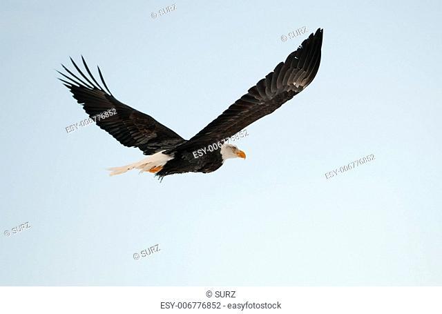 Flying Bald eagle. A flying Bald eagle againstblue sky. Chilkat River. Alaska USA. Haliaeetus leucocephalus