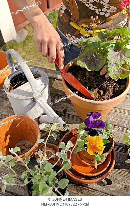 Planting of flowers in flower pots