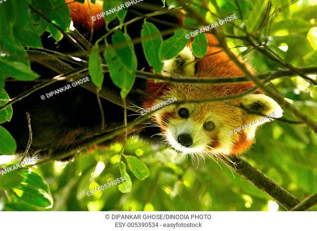 Red panda ailurus fulgens on tree at himalayan zoological park ; Bulbulay near Gangtok ; Sikkim ; India
