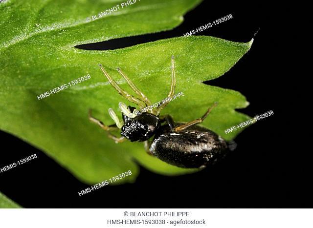 France, Araneae, Salticidae, Jumping spider (Heliophanus sp)