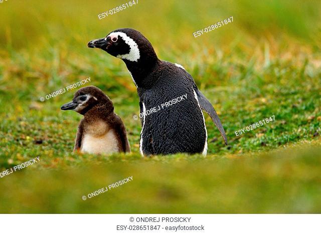 Magellanic Penguin, Spheniscus magellanicus, baby with mother
