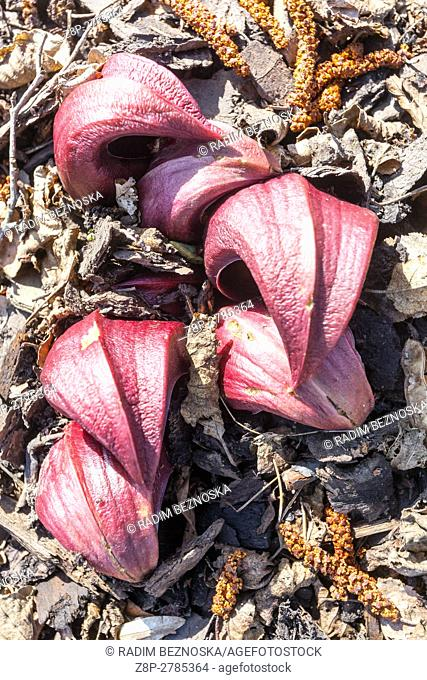 Flowers sprouting from a ground, Skunk cabbage in early spring