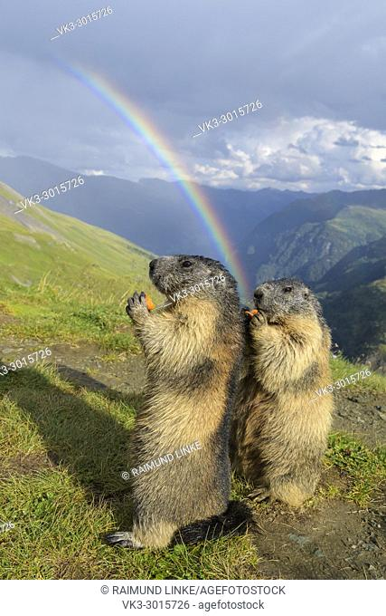 Alpine Marmot, Marmota marmota, two standing animals with rainbow, Hohe Tauern National park, Austria