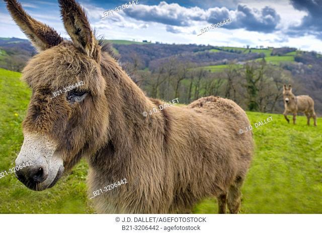 France, Auvergne, Cantal, Donkets at Monjou