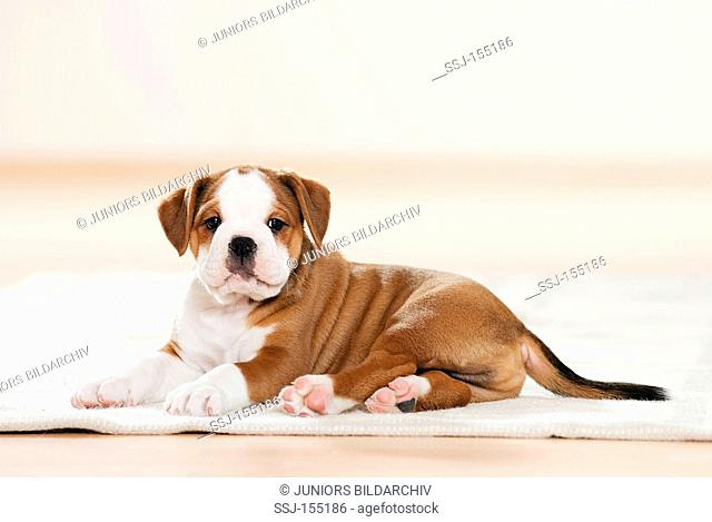 Continental Bulldog - puppy lying - cut out restrictions: magazines till 09/09