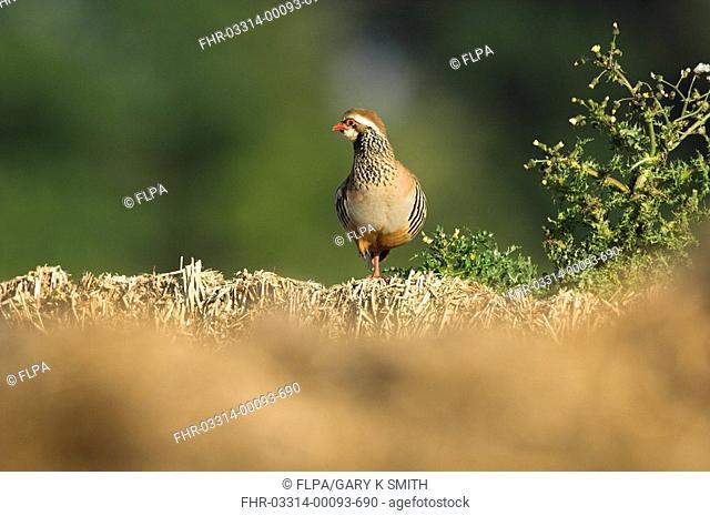 Red-legged Partridge Alectoris rufa adult, standing on straw bale, Norfolk, England, june