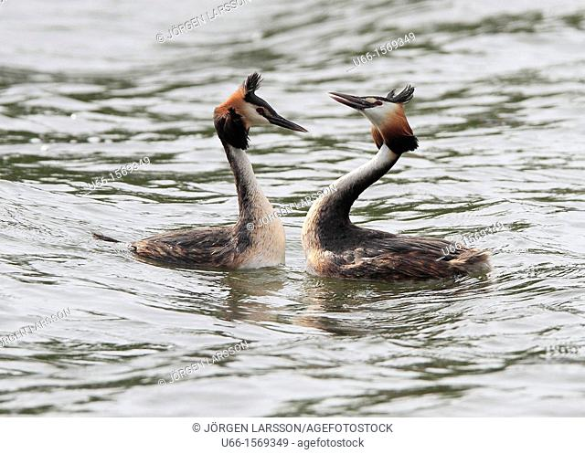 Great Crested Grebe Sweden
