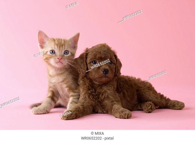 American Shorthair Kitten and Toy Poodle Puppy