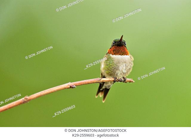 Ruby throated hummingbird (Archilochus colubris) Male, Greater Sudbury, Ontario, Canada