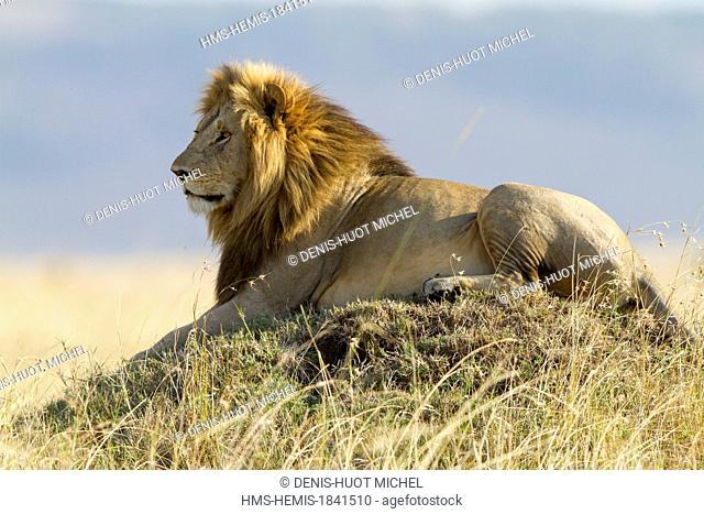 Kenya, Masai-Mara game reserve, lion (Panthera leo), male