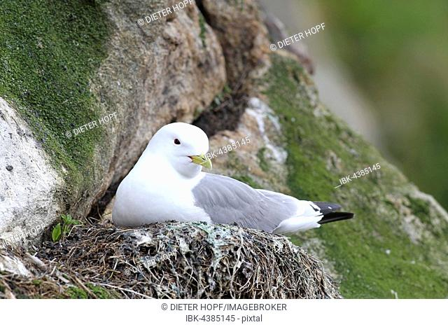 Black-legged kittiwake (Rissa tridactyla) in nest, Lofoten, Norway