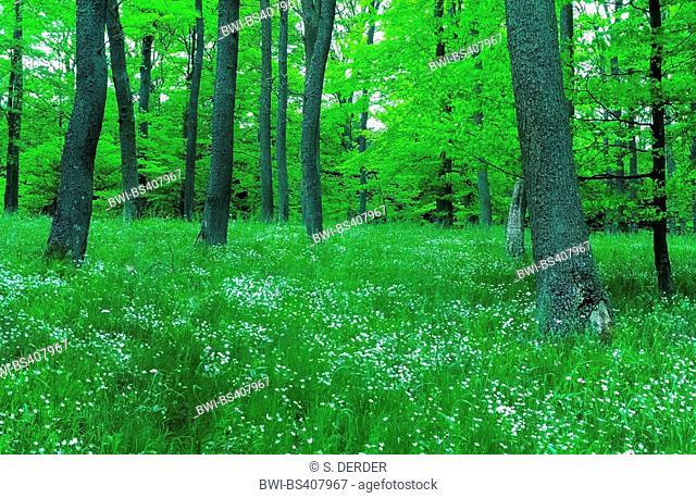 easterbell starwort, greater stitchwort (Stellaria holostea), spring wood with lots of easterbell starwort, Germany, Reinland-Pfalz, Hocheifel
