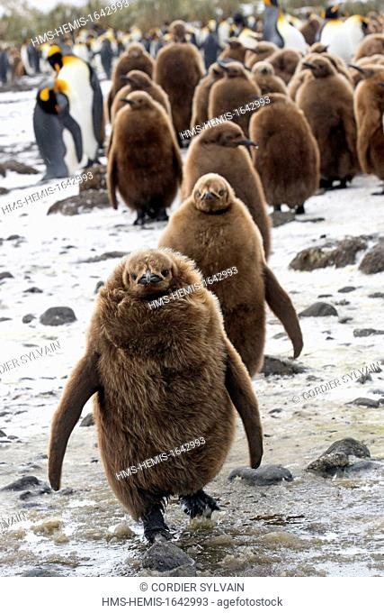Antarctic, South Georgia Island, Salysbury plains, King Penguin (Aptenodytes patagonicus), gpup of youngs