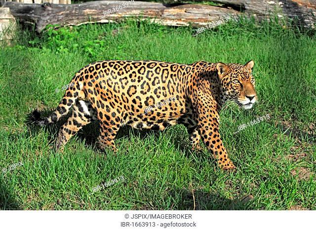 Jaguar (Panthera onca), adult male, Pantanal, Brazil, South America