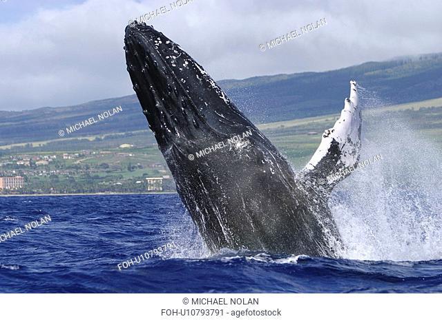 Humpback Whale Megaptera novaeangliae Breaching in Auau Channel, Maui, Hawaii, North America