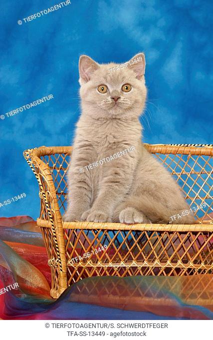 British Shorthair kitten on bench