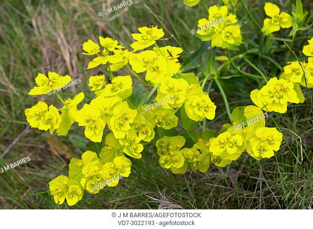 Serrated spurge (Euphorbia serrata) is a perennial herb native to western Mediterranean region. This photo was taken in Huesca province, Aragon, Spain