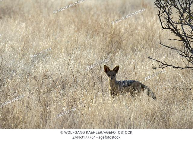 A black-backed jackal (Canis mesomelas) in the Samburu National Reserve in Kenya