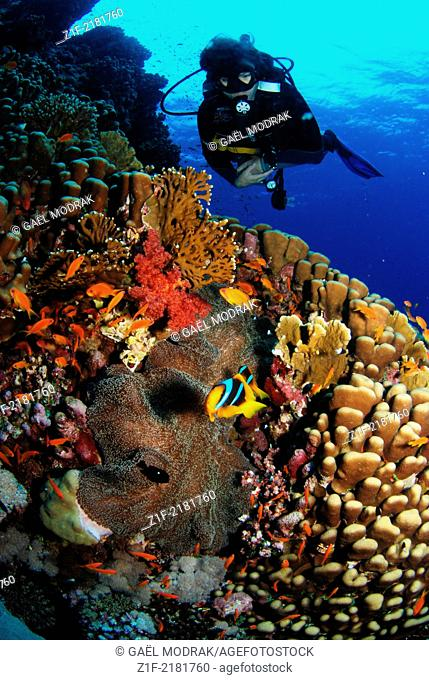 Diver observing two yellowtail clownfish over the corals of Rocky Island's reef in Red Sea, Egypt. Amphiprion clarkii