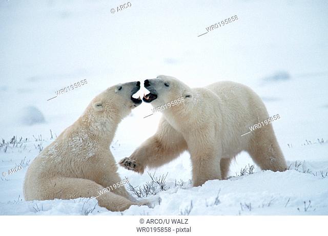 Polar, Bears, quarreling, Churchill, Manitoba, Canada, Ursus, maritimus, Thalassarctos, maritimus