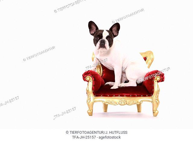 sitting French Bulldog