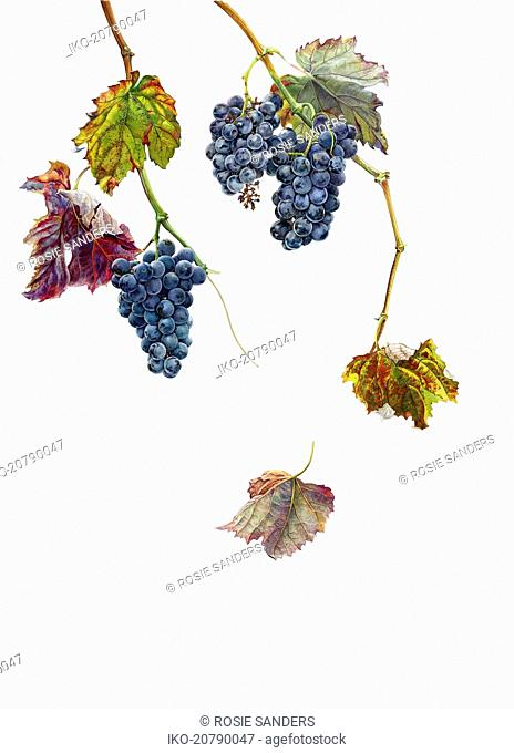 Ripe black grapes hanging on vine in autumn