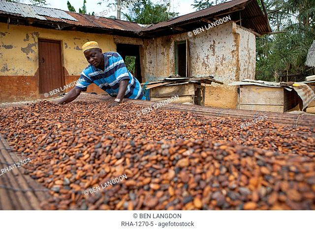 A cocoa farmer spreading cocoa beans out to dry at his farm, Ghana, West Africa, Africa