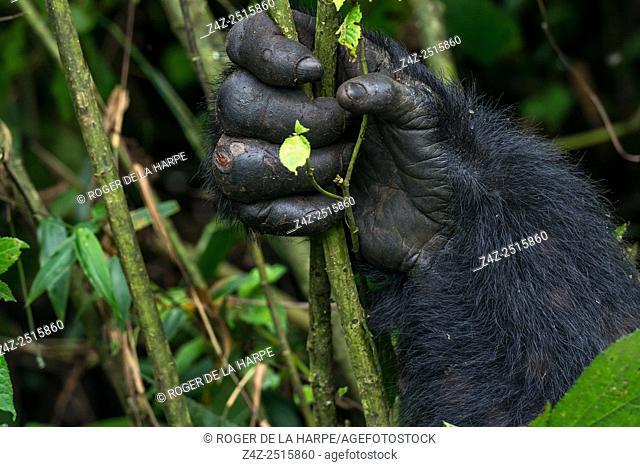 Mountain gorilla (Gorilla beringei beringei). detail of Hands. Bwindi Impenetrable Forest. Uganda