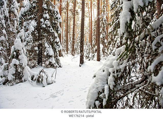 Pine and spruce forest covered by snow