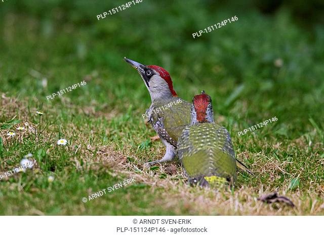 European green woodpecker (Picus viridis) female with juvenile searching for ants in grassland