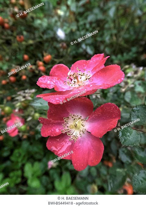 rose (Rosa spec.), rose in rain, Germany